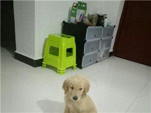 出售金毛幼犬,自己家母狗下的,需要的朋友