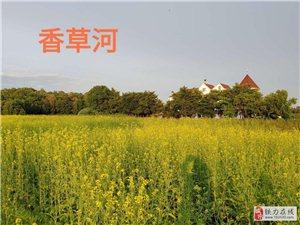 香草河的芥菜花――难得一见!