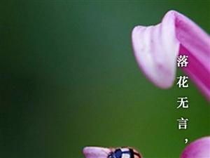 花落无言,人淡如菊。
