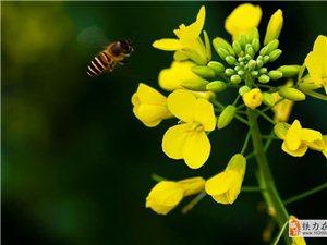 香草河――又是一年油菜黄!