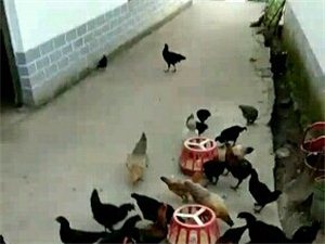 散养土鸡散养土鸡