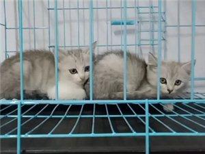 ??有可爱的银渐层小猫咪等待人领走,有人?#19981;?#22043;。