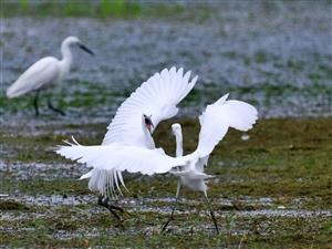 青山绿水映凤城,白鹭起舞话生态。