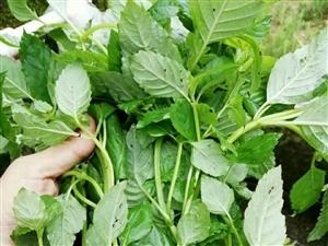 收购仙人草:新鲜和干的都可以,朋友有的帮忙介绍一下