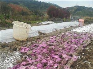 自家种的紫山药大量供应,在县城附近,有需要的请联系