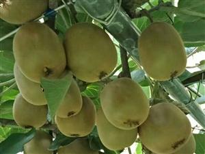 大量出售猕猴桃2万斤左右。农历7月上旬成熟。欢迎各位老板前来订购