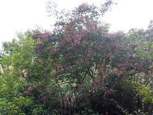 野鸦椿和�B木。这俩种植物可能大家都见过,长果子的它们见的人就少了,因为它们的果子是在盛夏时节长的,而