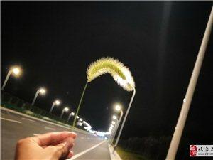 路灯点亮了狗尾巴草??
