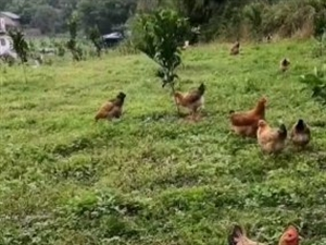 想吃正宗的土鸡,来找我