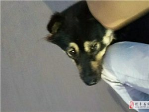 朋友的狗失�了,像哈士奇,狗的身上有黑毛有白毛,信�S的朋友麻�┝粢庖幌拢�可用QQ微信�系我34407