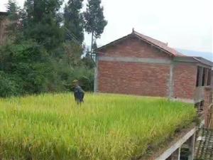 水稻收获时节,城市中奋斗的你,还记得在稻田摸爬滚打的日子吗?