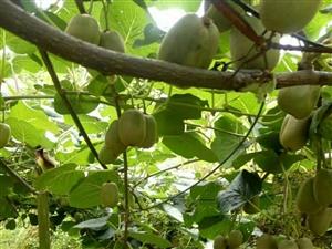 红心猕猴桃,即将成熟,欢迎订购!