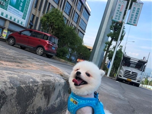 3岁迷你博美弟弟寻求好心人有爱狗人士联系我15223937282微信同步