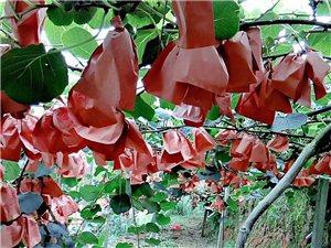 红心猕猴桃新上市,果大品靓,大概有几千斤