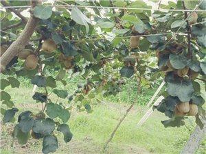 三标乡有两万斤优质猕猴桃急于销售,找收购商收购