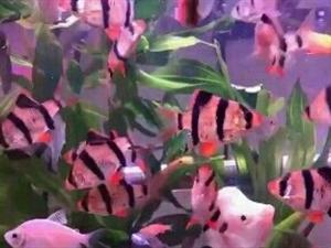 美丽快乐的鱼具说鱼的记意只有七秒所以鱼能在鱼钢里快乐的游来游去无忧的生活人的烦脑来自欲望太多
