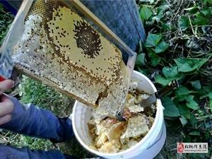 原生�B蜂蜜,�F采�F�u,�A��a量200斤,�盗坑邢蓿�先到先得,150元一斤,如果您有需要�系我,�系方