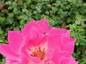 天方夜谭。2013年日本育出。夏日高温下,花朵依然表现优秀。