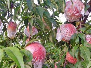 �鄢蕴易拥目催^�碜约夜��@�N植,每��果子有膜袋,不催�t,不打膨大��,桃子都是香甜美味�F�I�F摘,只挑