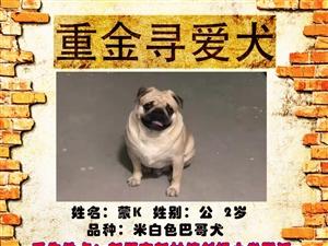 酬谢金2000元寻找爱犬回家