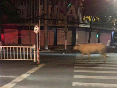 潢川街头惊现一头白牛,出租车群欲抓之
