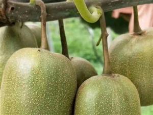 寻乌红心猕猴桃,自己栽培的无公害,无催化剂,自然成熟,非常甜!