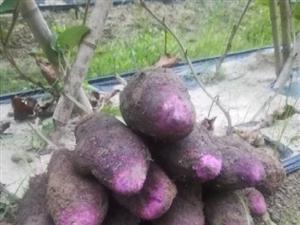 大薯供应:自己种植几亩大薯,每天现挖新鲜