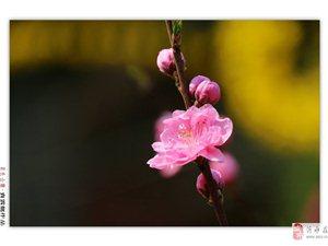 桃花朵朵开,佳人入梦来