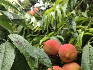 秋文/安良善秋金黄是收获希冀期望谷穗低下头果园飘过清香桃子苹果羞答答涨红了粉粉