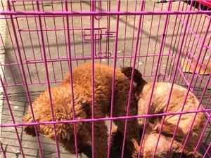 无极城南出售泰迪比熊博美各种宠物狗