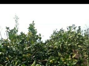 本人吉潭有五千斤左右特早熟桔子,有需要的老板请联系