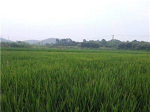 �G油油的水稻,�L�萘己茫�又是一���S收年
