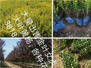 常年大量出售工程绿化苗木,承揽绿化工程小区绿化13180203818