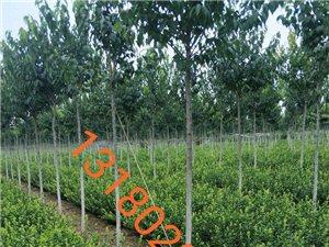常年大量出售绿化工程苗木13180203818