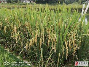 鱼塘里栽水稻