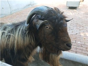 羊羊羊,咩……