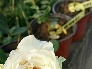 伊芙系列之………(有兴趣的花友可以交换品种小苗哟)