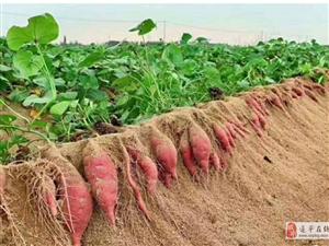 �v�R店瓦���的沙土�t薯曝光