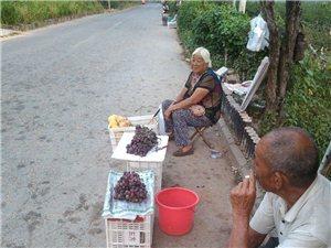 泉庄葡萄熟了
