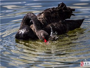 """黑天鹅来了,商河一座水库,飞来三只珍贵""""稀客""""黑天鹅!"""
