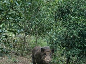 预定高山放养野猪/土黑猪年猪