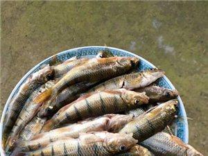 溪石斑鱼哪里有买?小时候的味道...