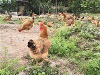 长期出售,脱温鸡苗,中鸡苗,老母鸡,老阉鸡