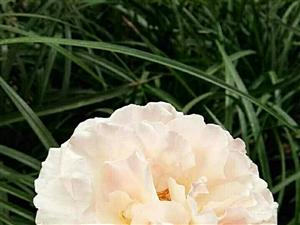 摩纳哥王妃夏琳。法国玫兰国际推出。粉色混合着杏色花瓣以迷人的波浪形式存着,散发着浓郁的水果味。是非常