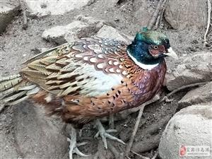 绿色健康,生态养殖跑山鸡