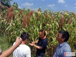 贵州省仁怀市红满山农业发展有限公司在大河镇的合同农业+订单农业已经开始现金收购了