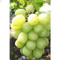 淡淡的玫瑰香清清爽爽的甜馨青青的果���M足�感和味雷玫瑰香葡萄成熟了�f�@�摘10元一斤