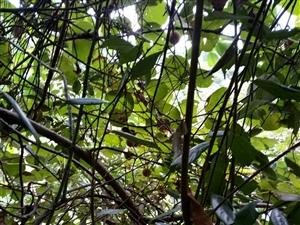 野猕猴桃熟了