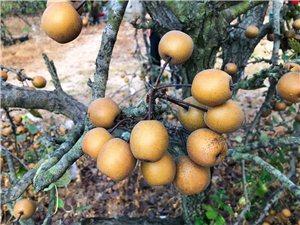 儿时记忆~甘草鸟梨(蕉梨)潮汕地区有一种个头很小的梨,外形略似枇杷,大的像个乒乓球。这种小梨叫做鸟