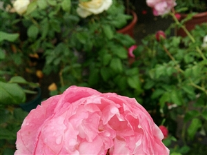 雨打百花��,�t��傲以然。